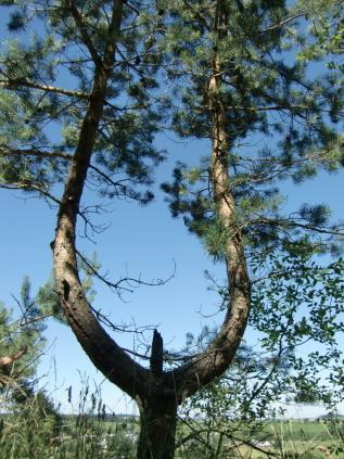 arbre lyre