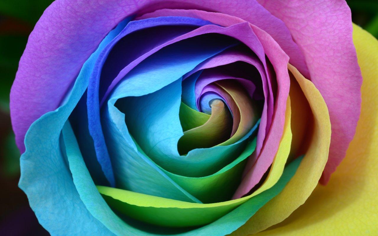 Rainbow rose de Laura Ockel